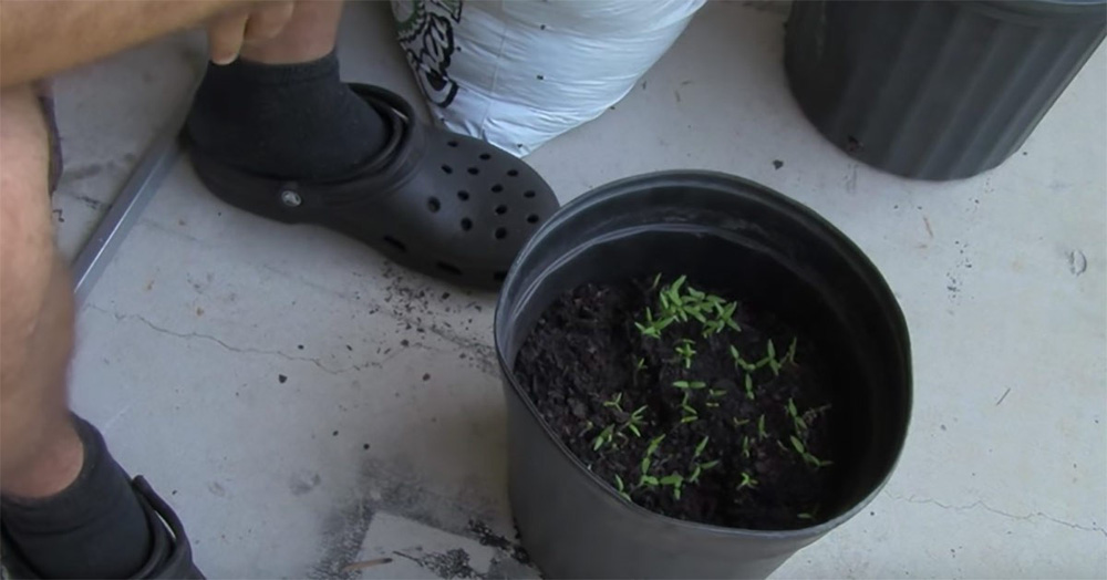Cà chua chín nẫu đừng vứt đi, hãy thái lát bỏ vào chậu đất, bạn sẽ có cà chua ăn thoải mái - Ảnh 4.