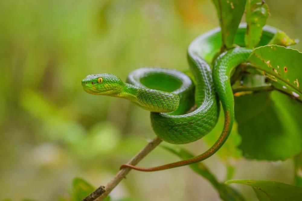Liên tiếp cảnh báo rắn độc ở VN: Tôi dùng gậy chặn đầu thì rắn phun ra nọc rất nguy hiểm - Ảnh 4.