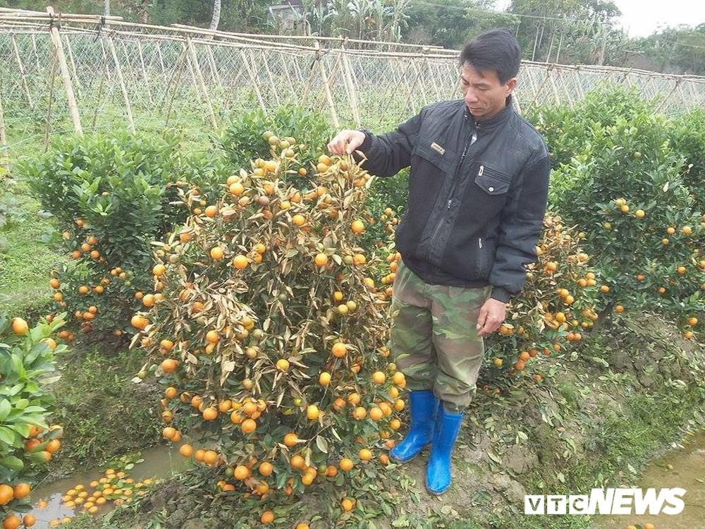 Kẻ xấu dùng thuốc diệt cỏ sát hại hơn 300 cây quất cảnh - Ảnh 2.