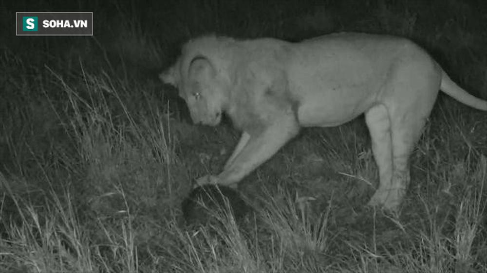 Nổi danh là bậc thầy săn mồi, sư tử vẫn chịu chết vì loài vật nặng chưa tới 4,5kg - Ảnh 1.
