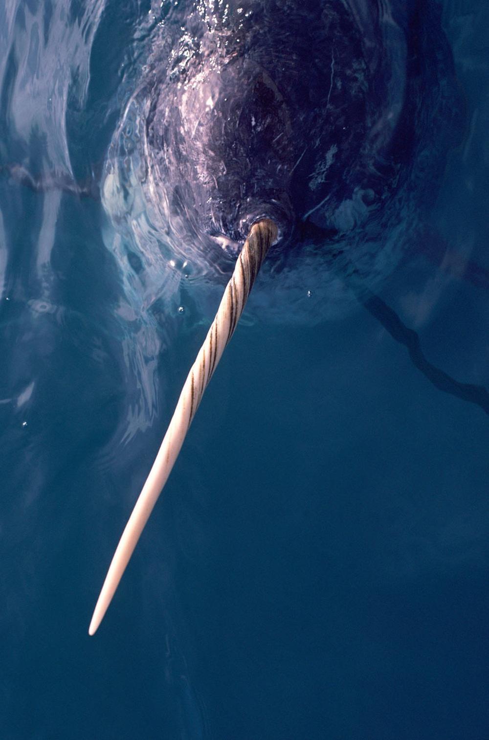 Bí mật chiếc ngà đắt hơn vàng của kỳ lân biển: Báu vật bị săn lùng nhiều bậc nhất châu Âu - Ảnh 4.