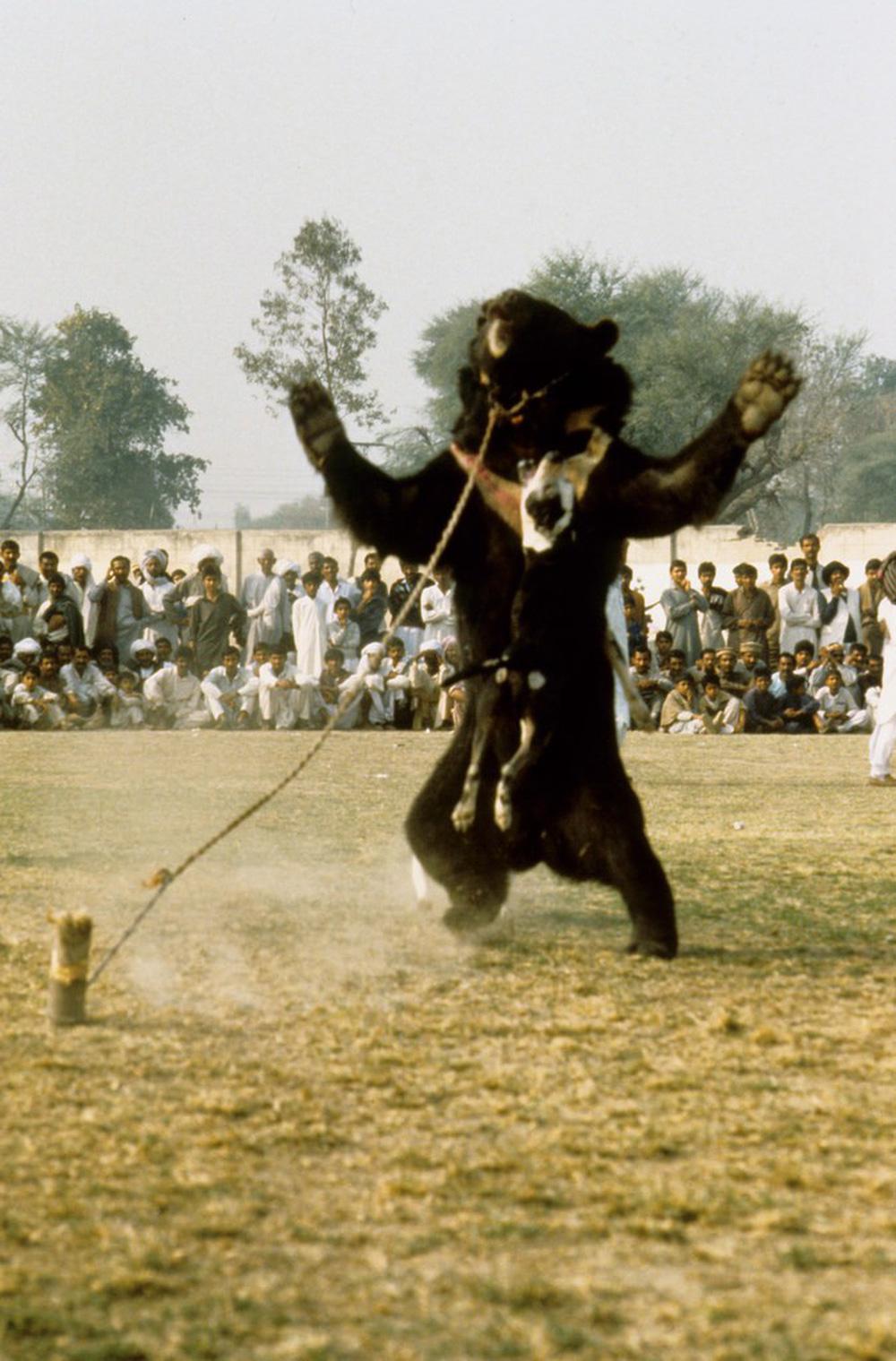 Chó ngao Pakistan điên cuồng lao vào cuộc chiến với gấu đen và kết thúc không ngờ - Ảnh 7.