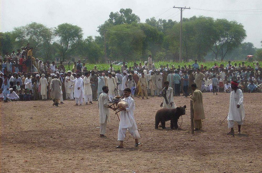 Chó ngao Pakistan điên cuồng lao vào cuộc chiến với gấu đen và kết thúc không ngờ - Ảnh 11.