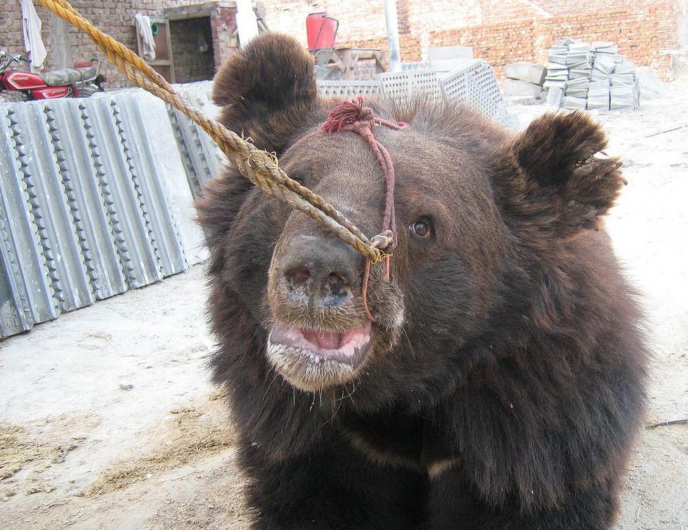 Chó ngao Pakistan điên cuồng lao vào cuộc chiến với gấu đen và kết thúc không ngờ - Ảnh 12.