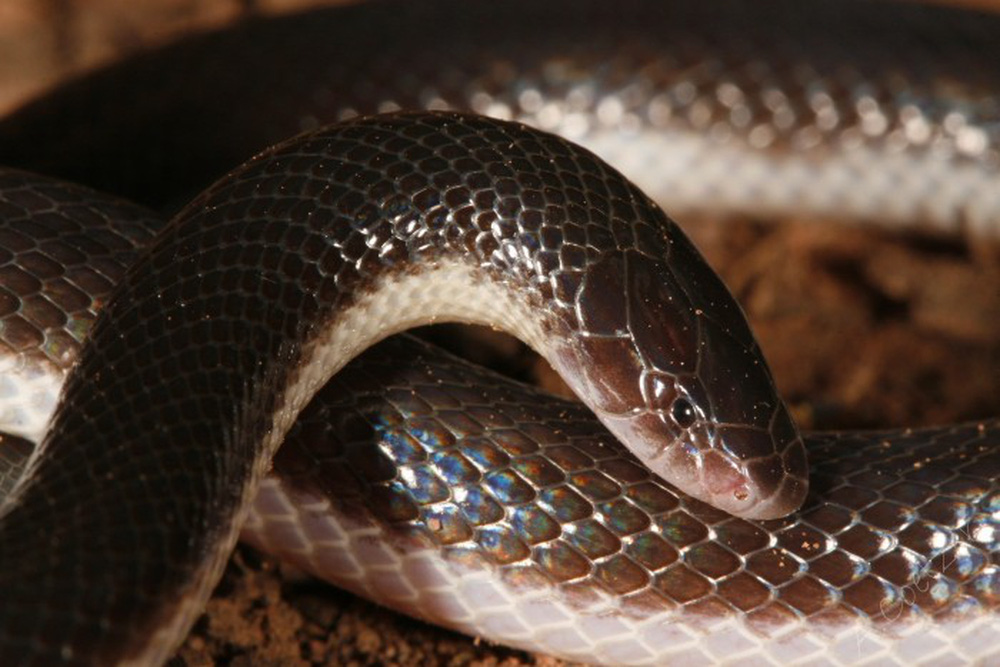 Loài rắn kỳ dị nhất hành tinh: Cắn người không cần há miệng, nọc hủy hoại mô nghiêm trọng - Ảnh 1.