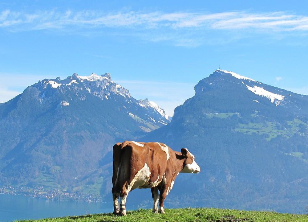 Bị sư phụ bắt đẩy con bò xuống vách núi, chú tiểu sợ hãi và 20 năm sau mới hiểu ra lý do - Ảnh 2.