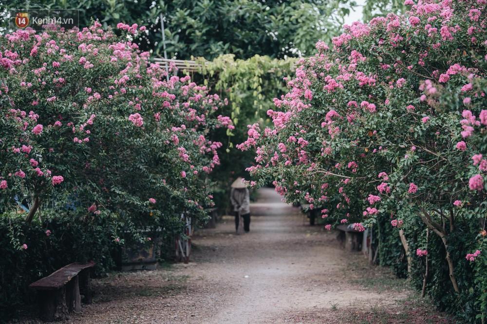 Chùm ảnh: Con đường ở Hà Nội được tạo nên bởi 100 gốc hoa tường vi đẹp như khu vườn cổ tích - Ảnh 1.