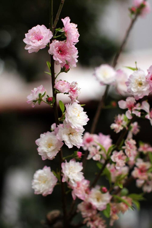 Mách bạn các cách giữ hoa đào tươi lâu và nở đúng ngày - Ảnh 2.