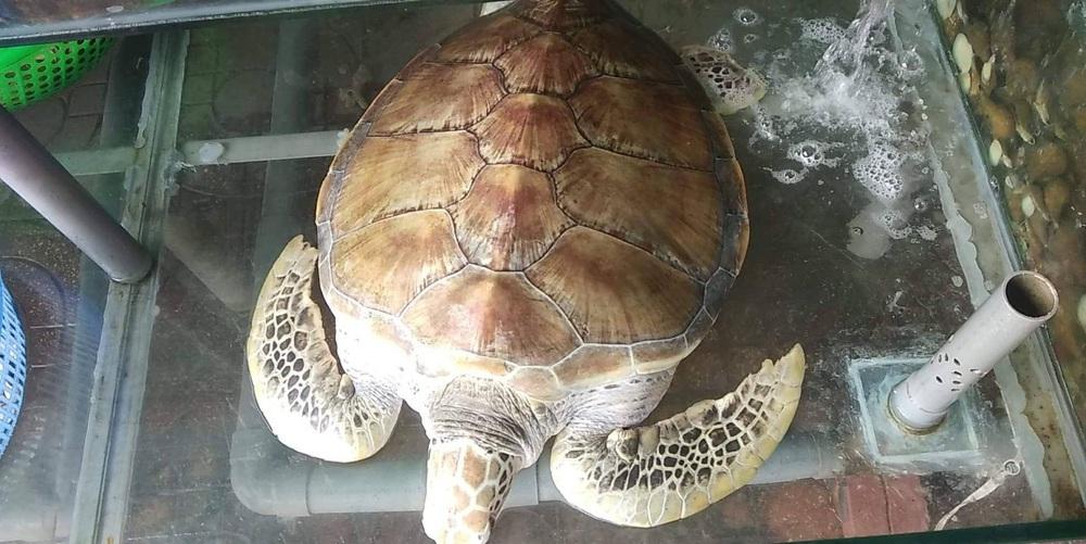 Ngư dân bắt được rùa biển quý hiếm, chủ nhà hàng mua về chăm để thả ra biển - Ảnh 1.