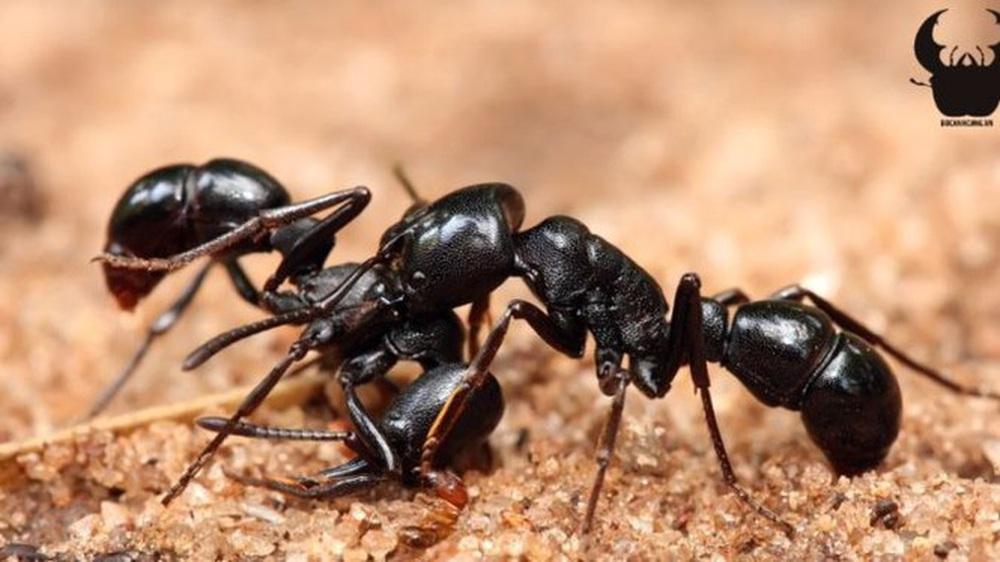 Kiến điên Tawny sống ở đâu, loài kiến nào hung tợn nhất hành tinh? - Ảnh 2.