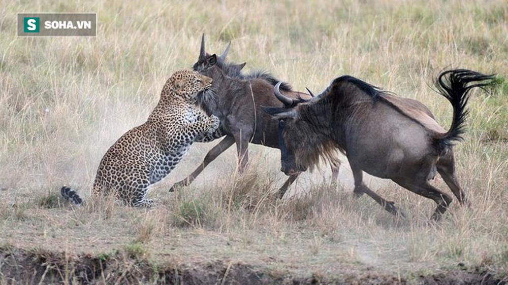 Tưởng chọn được mồi ngon, ngờ đâu báo dính đòn đau khi cố săn linh dương non - Ảnh 1.