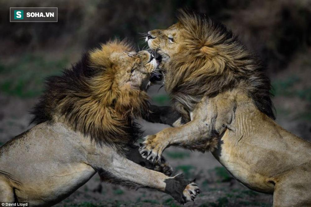 Khiêu khích vị vua già, lũ sư tử non háu đá nhận lấy thất bại thảm hại - Ảnh 1.