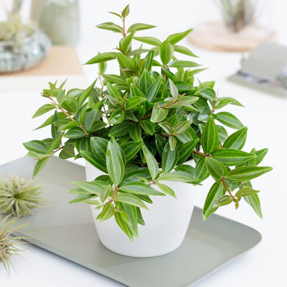 4 giống cây sức khỏe trồng trong nhà, văn phòng: Đẹp nhà, dưỡng sinh, bình an, hạnh phúc - Ảnh 9.