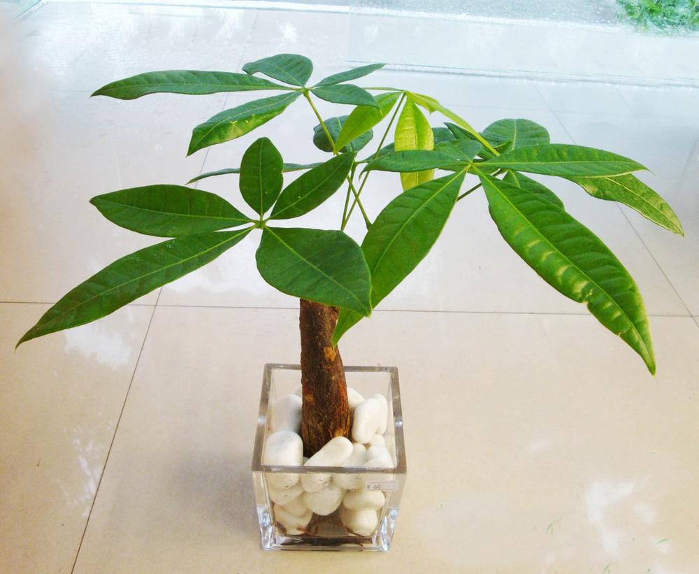 4 giống cây sức khỏe trồng trong nhà, văn phòng: Đẹp nhà, dưỡng sinh, bình an, hạnh phúc - Ảnh 2.