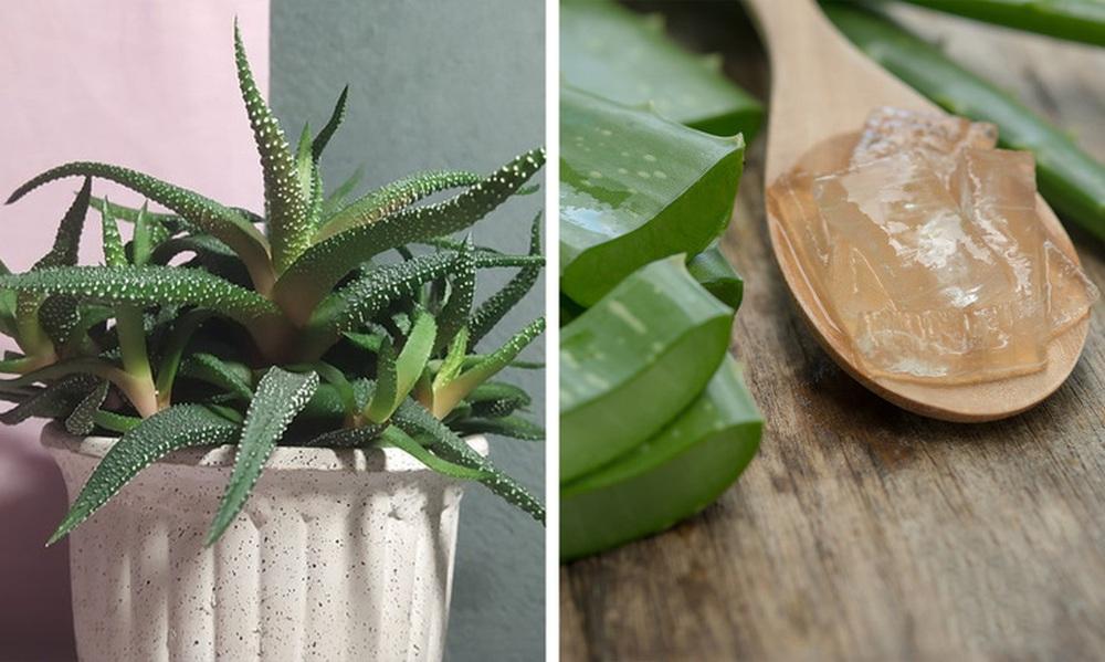Gợi ý 15 loại cây cảnh bạn nên trồng để vừa làm đẹp nhà vừa tốt cho sức khỏe - Ảnh 9.