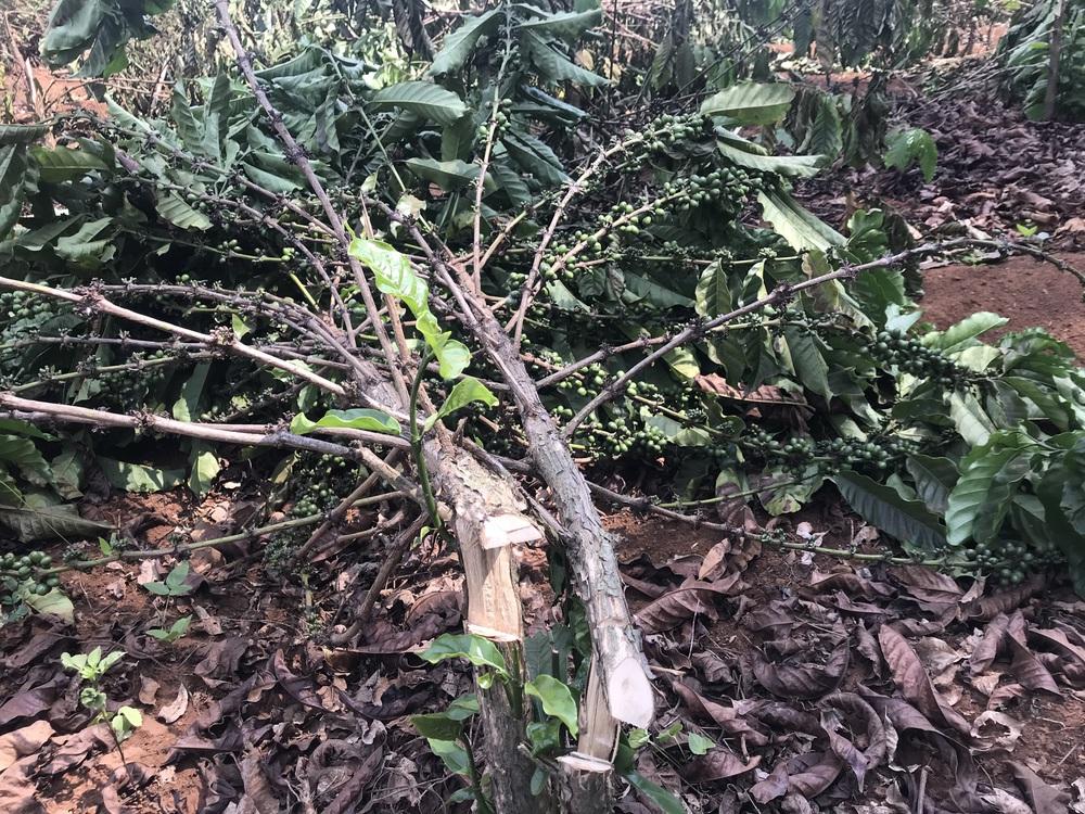 Hàng ngàn cây cà phê đang đậu quả bị chặt hạ trong đêm - Ảnh 3.