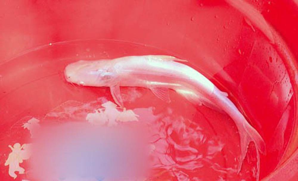 Cá trê râu 8 cọng và những siêu đột biến kỳ bí độc nhất đất Việt - Ảnh 13.