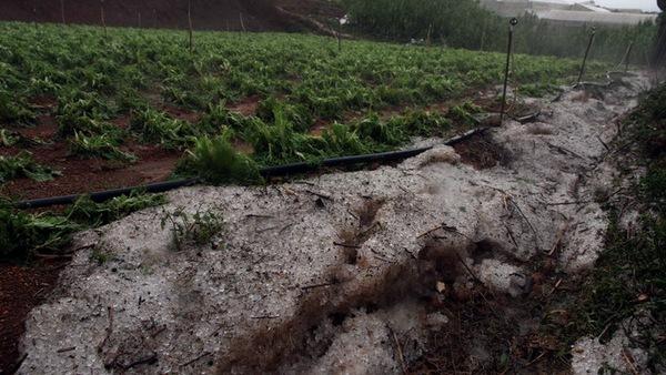 Mưa đá đã làm hư hại nhiều diện tích rau xà lách của nông dân