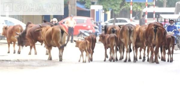 Mặc cho dòng người qua lại, những chú bò này vẫn thong dong diễu hành trên phố, hòa chung cùng dòng người ấy.