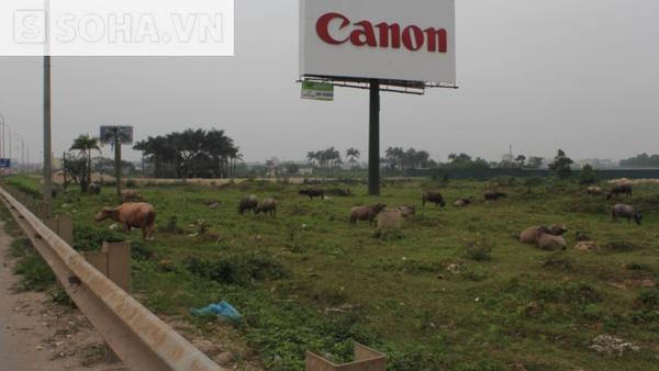 Dọc trên tuyến đường cao tốc Thăng Long - Nội Bài cũng có rất nhiều đàn bò được chăn thả dọc bên đường mà không thấy bóng người chăn dắt.