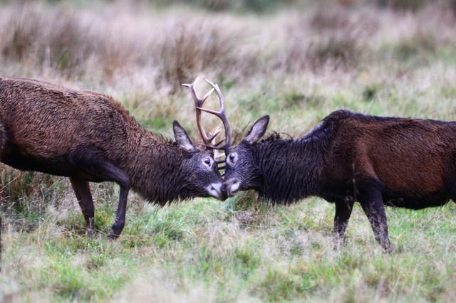 Hươu đỏ đực đánh nhau để tranh giành quyền giao phối trong mùa sinh sản ở Glen Etive, Scotland.