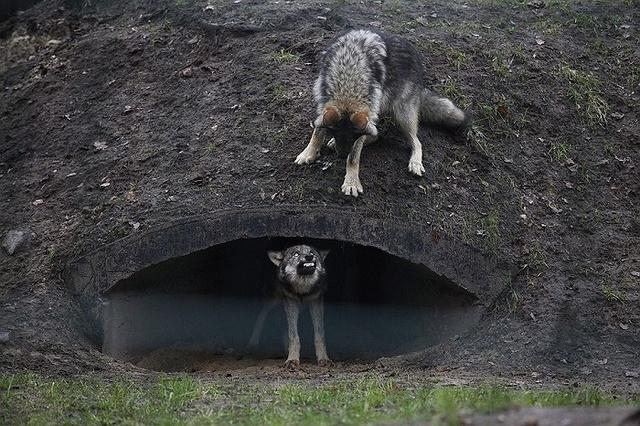 Hai con sói gầm gừ nhau trong vườn thú Akcent ở Bialystok, Ba Lan.