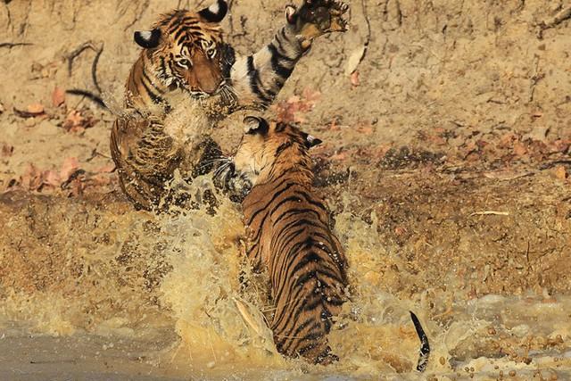 Hai con hổ nhỏ đánh nhau dưới một vũng nước trong vườn quốc gia Bandhavgarh, Ấn Độ.