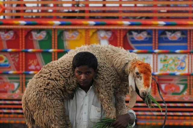 Một cậu bé vác cừu trên vai gần khu chợ gia súc ở Lahore, Pakistan.