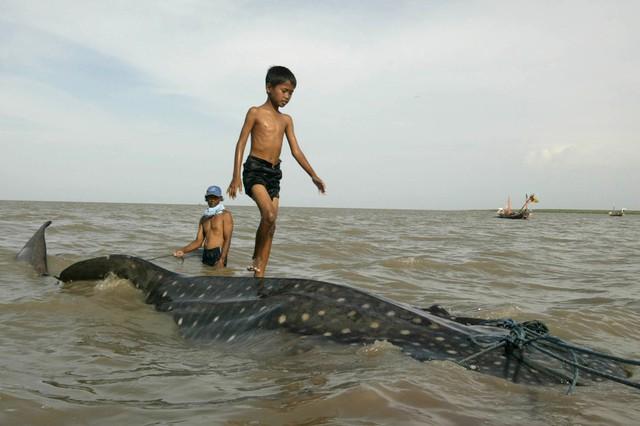 Một cậu bé đi trên lưng cá mập voi bị mắc cạn khi các ngư dân đang cố gắng kéo nó ra biển tại Surabaya, Indonesia.