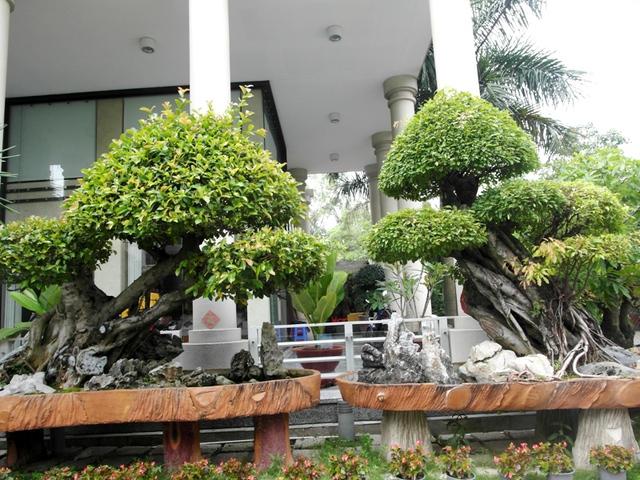 Hai cây mai chiếu thủy cổ thụ đắt tiền bên hiên nhà.