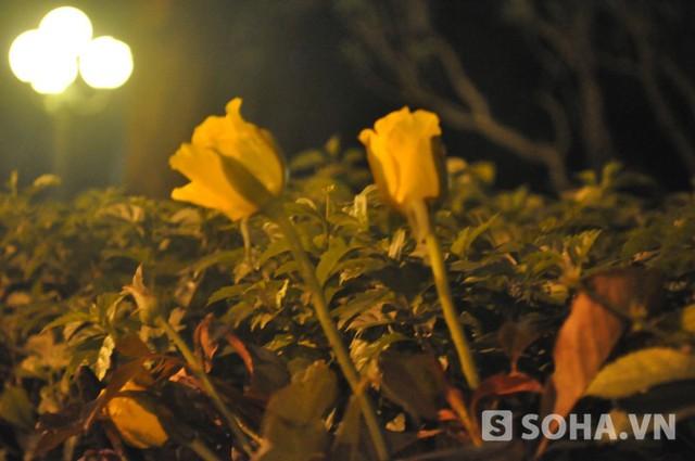 Những bông hoa hồng trên tường rào nhà riêng Đại tướng Võ Nguyên Giáp được những người chưa kịp vào thắp hương cho Đại tướng cắm lên chiều tối 6/10 (Ảnh: Tuấn Nam)