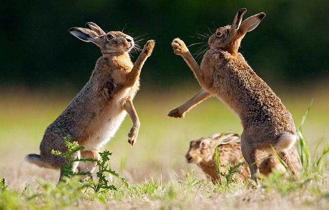 Một cặp thỏ rừng đánh nhau trên đồng cỏ ở Tibenham, Norfolk, Anh.