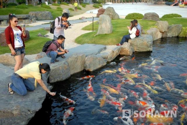 Một người trực tiếp nuôi và chăm sóc loại cá này trong hồ ở khu du lịch ở huyện Hóc Môn cho biết, đây là cá chép thuộc dòng cá Koi rất được ưa chuộng trên thế giới.