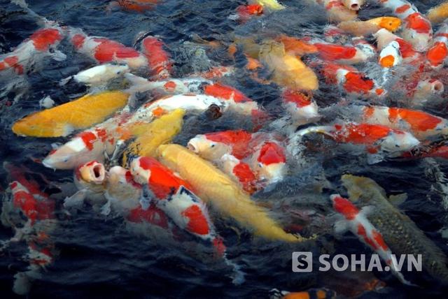 Tùy vào đặc điểm của từng con cá mà cá Koi sẽ có giá trị khác nhau, con thấp nhất có giá vài nghìn đến hàng chục nghìn USD.