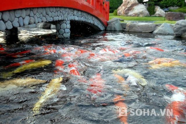 Hiện trong hồ đang nuôi 220 con các Koi, toàn bộ thức ăn của loại cá này được đưa từ Nhật sang và chúng sống trong môi trường nước từ 22 – 24 độ C.