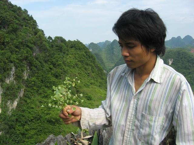 Đây là cây Xiên Rim được người dân cho là thần dược trong việc chữa đau xương khớp khi ngâm với rượu.