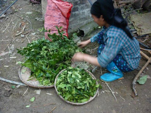 Sắp xếp lại những lá cây thuốc trước khi mang ra chợ