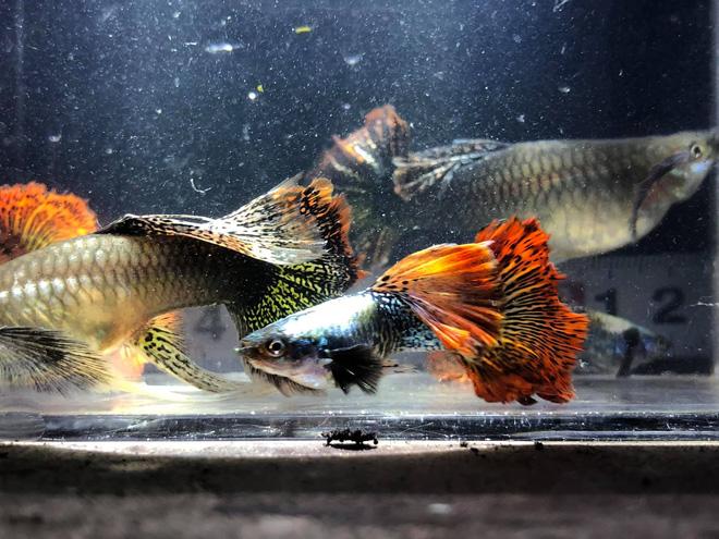 Nuôi hàng trăm bể cá, chàng trai Bến Tre trở thành triệu phú, kiếm 50 triệu đồng mỗi tháng - Ảnh 4.