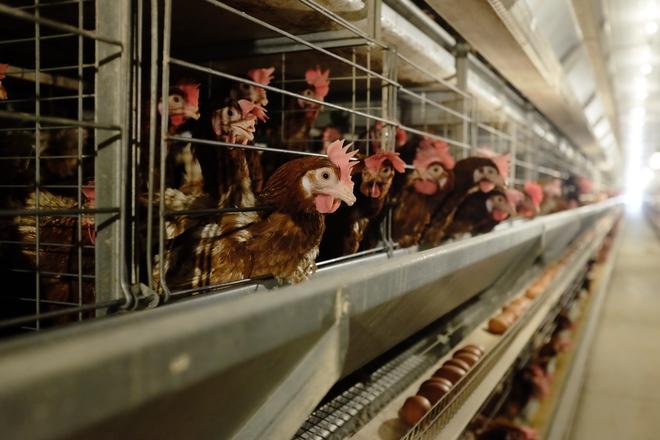 Khi Chủ tịch thép Hòa Phát bán trứng gà: Hơn nửa triệu quả mỗi ngày, lớn nhất miền Bắc - Ảnh 2.