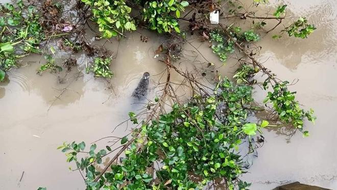 Cá sấu dài khoảng 1,5m lạc trên sông khiến người dân kinh ngạc: Ảnh và clip được chia sẻ liên tục  - Ảnh 1.