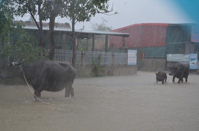 Dân Quảng Bình lùa trâu lên quốc lộ tránh lũ, cứu hộ chạy đua giải cứu bà cụ gãy chân tay kẹt trong nước - Ảnh 5.