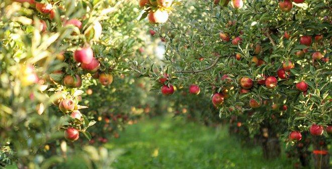 Huffpost đăng một loạt chuyên gia ca ngợi sự tuyệt vời của quả táo, nhưng khuyên tránh 1 thói quen xấu - Ảnh 7.