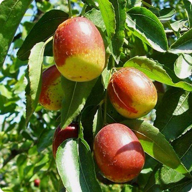 Cũng gọi là táo, nhưng táo tàu khác xa táo mà khoa học phương Tây hay nói: Bổ gì? Dùng ra sao? - Ảnh 5.