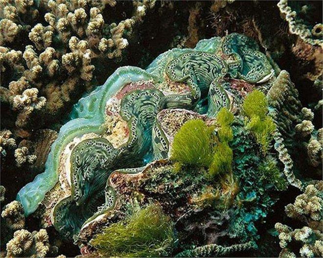 'Quái vật' ngao có cân nặng lên tới 3 tạ này từng được tin là có thể ăn thịt người. Người ta phát hiện chúng ở độ sâu khoảng 20m so với mặt nước biển, nơi có những rạn san hô.