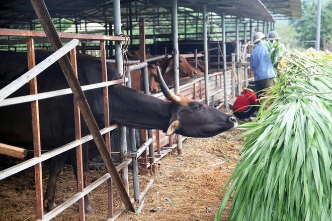Vườn quốc gia Phước Bình sẽ chăm sóc đàn bò tót ốm đói, suy kiệt như thế nào? - Ảnh 3.