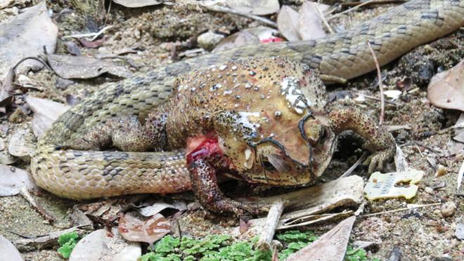 Giải mã loài rắn có tập tính ghê sợ: Chỉ thích chui đầu vào cơ thể con mồi để ăn nội tạng - Ảnh 1.