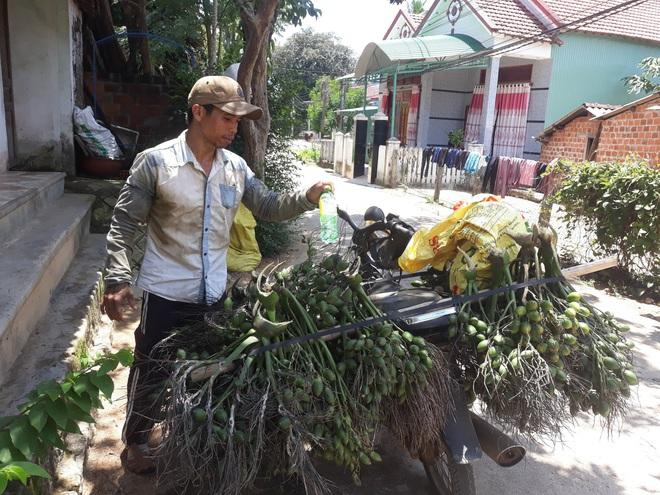 Bình Định: Giá cau tươi tăng gấp 4 lần, nông dân trồng cau giàu, lái gạ mua cả cau non, dân sợ không bán - Ảnh 1.
