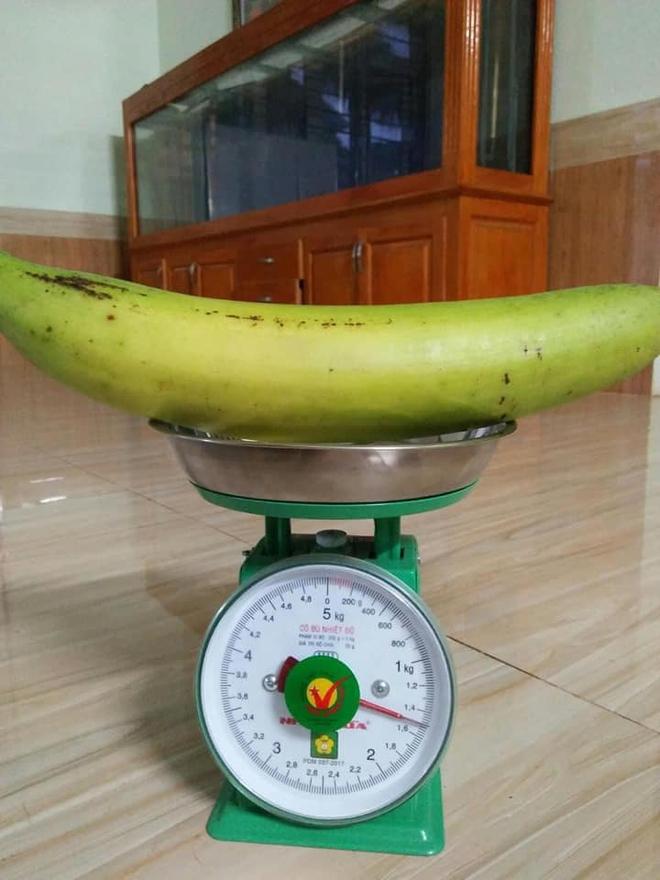 Trái chuối có kích thước khủng, nặng gần 1,5kg khiến cư dân mạng xôn xao  - Ảnh 1.