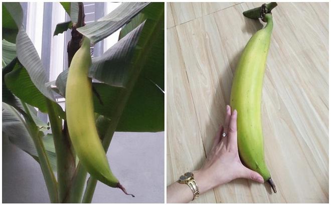 Cả cây chuối chỉ có 1 trái, kích thước khủng khiến MXH Việt xôn xao