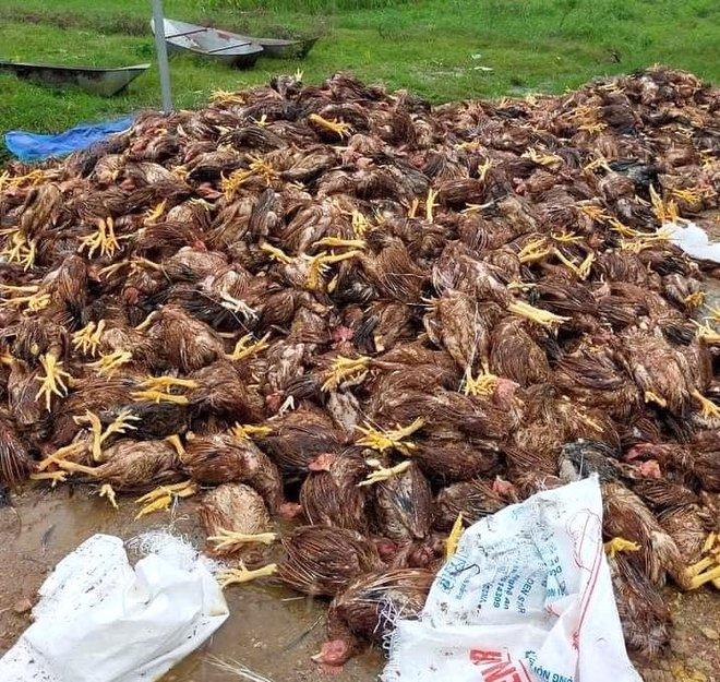 Xót xa hình ảnh 10.000 con gà chết chất đống sau cơn lũ dữ trong đêm - Ảnh 5.